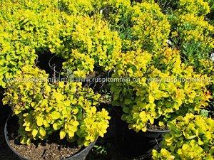 Барбарис Тунберга Голден Дивайн (С2) карликовый, лист желтый Berberis thunbergii golden devine