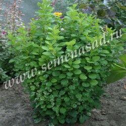 Барбарис Тунберга Пау Вау (С2) лист зеленый с кремово-белыми пятнышками Berberis thunbergii  Powwow