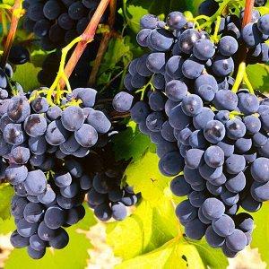 Виноград плодовый Рошфор (C3)Vitis