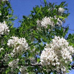 Акация белая (Робиния) (С7,5) цветки белые Robinia pseudoacacia