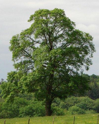 2000 видов семян для посадки! Подкормки, удобрения — Невысокие деревья (до 4 метров) - саженцы