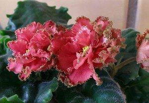 АВ Хурма Крупные махровые гофрированные коралловые звезды с золотисто-зеленым рюшем. Волнистые средне-зеленые листья.