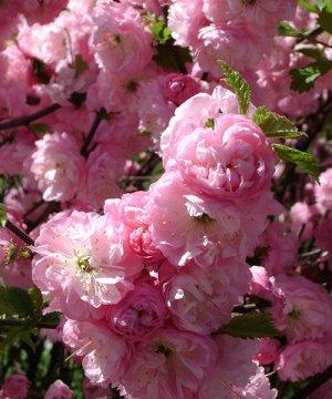 Миндаль трехлопастной (С3 Н30-40) Цветки розовые, махровые Prunus triloba