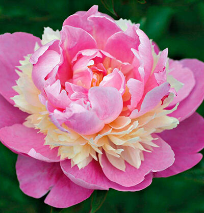ШИКАРНЫЕ КОРНИ ПИОНОВ из ГОЛЛАНДИИ! ПРЕДЗАКАЗ — Пионы Травянистые молочноцветковые