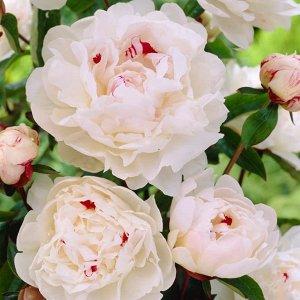 Пион Богато цветущий пион с душистыми цветками с белым цветком с красными пятнами в центре