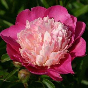 Пион Эксклюзивный пион с розово-белыми цветками.