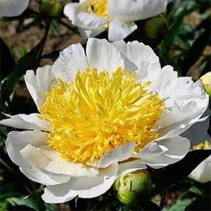 Пион Белый пион с желтой серединкой тычинок.