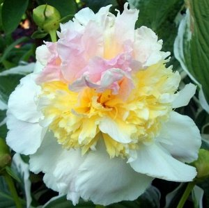 Пион Полный нежно-розовый пион с золотистым сердцем.