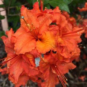 Азалия гибридная Спениш Денсер (С2 Н20-30) цветки ярко-оранжевыес гофр.краем Azalea hybrida Spanish Dancer