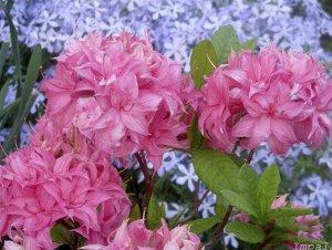 Азалия гибридная Хоумбуш (С2 Н30-40) цветки розовые, собранные в шаровидные соцветия Azalea hybrida Homebush
