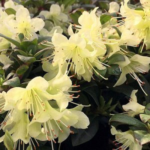 Рододендрон Хенса Принцесса Анна (С2 Н20-30) цветки желтые , низкорослый Rhododendron hanceanum Princess Anne