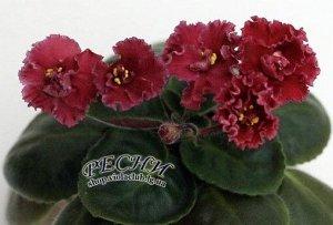 Фиалка ПОЛУМИНИ. Крупные красно – алые полумахровые цветы с гофрированным краем лепестков. Зелёная листва.