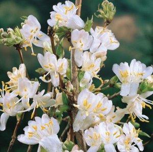 Жимолость purpusii (сорт 'Winter Beauty')