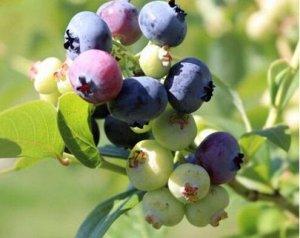 Голубика садовая (сорт 'Bluetta')