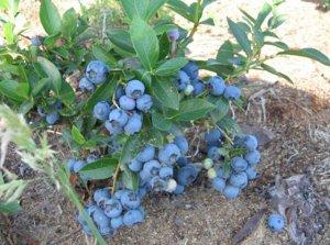 Голубика садовая (сорт Blue Crop)