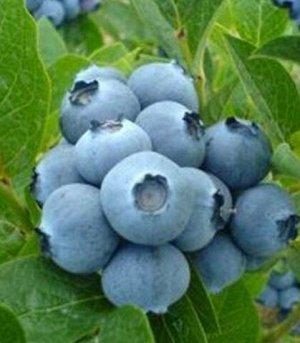 Голубика садовая (сорт Bluegold)