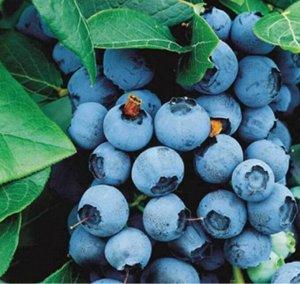 Голубика садовая (сорт Brigitta Blue)