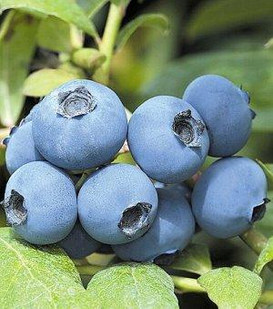 Голубика садовая (сорт Chanticleer)