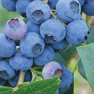Голубика садовая (сорт Earliblue)