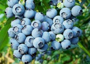 Голубика садовая (сорт Goldtraube 71)