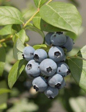 Голубика садовая (сорт Meader)