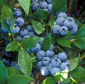 Голубика садовая (сорт North Country)