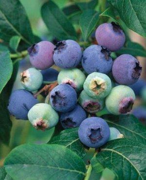 Голубика садовая (сорт Northland)