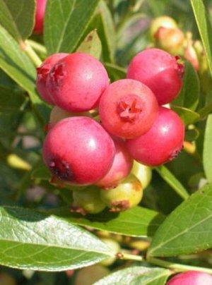 Голубика садовая (сорт Pink Lemonade)