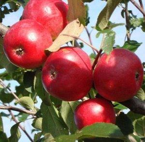 Яблоня СОЗВЕЗДИЕ