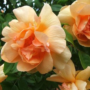 Крепускул Высота- 180-350,Ширина (см):более 150 Период цветения- повторноцветущая, до заморозков Диаметр цветка, см– 6-8, полумахровый Окраска цветка– оранжевый, абрикосовый Аромат- *** Устойчив