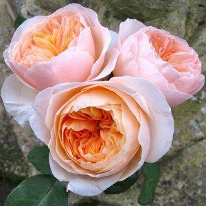 Джульет Сорт Джульет (Juliet) относится к срезочным сортам Дэвида Остина и главной его особенностью является непрерывность в цветении и легкий чайный аромат. Цветок имеет размер до 10 см, количество