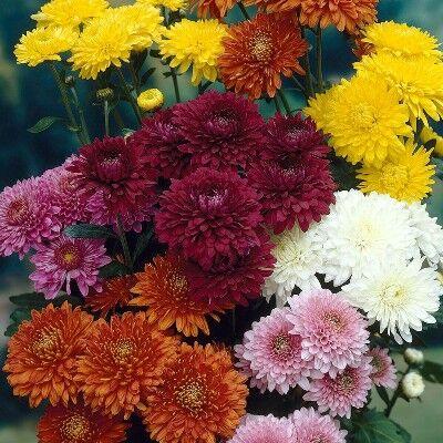 Многолетники для сада — скидки на все — Корейские хризантемы от 41 руб