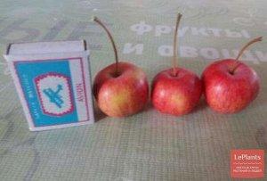 Яблоня полукультурка сорт Запроточное