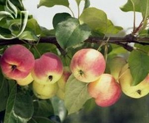 Яблоня полукультурка  сорт Алтайское пурпурное