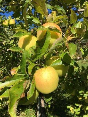 Яблоня полукультурка   сорт Неволинское