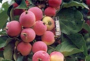 Яблоня полукультурка сорт Жебровское