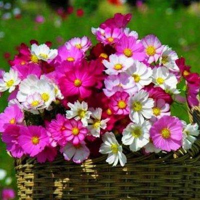 Змееголовник молдавский. Отличный заменитель лаванды — Цветы однолетние