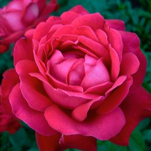 ДАМ ДЕ КЕР (DAME DE COEUR) Чайно-гибридная Роза