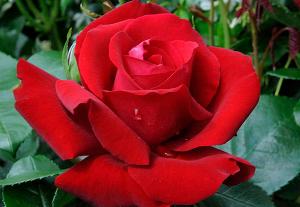 Чайно-гибридная Роза ИНГРИД БЕРГМАН (INGRID BERGMAN)