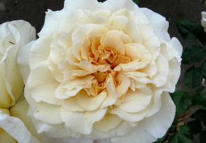 Чайно-гибридная Роза КОМТЕССА (COMTESSA)