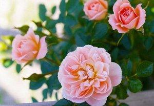 Сансет мемори (sunset memory) роза японской селекции