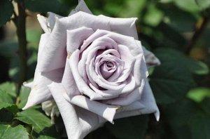 Шато мертию (chateau myrtille) роза японской селекции