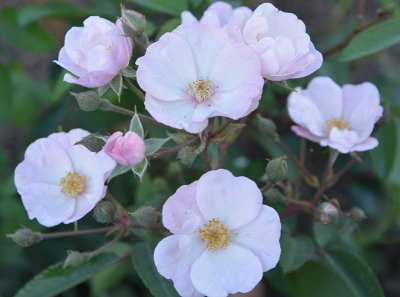 Леди роза — шикарные розы, предзаказ весна 2022 — Гибриды мускусных роз