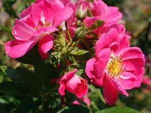 УИЛЬЯМ БАФФИН (WILLIAM BAFFIN) Канадская роза