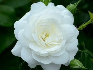 КАСТЕЛЬРУТЕР ШПАЙЦЕН (KASTELRUTHR SPATZEN) Почвопокровная роза