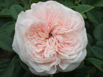 Леди роза — шикарные розы, предзаказ весна 2022 — Шрабы