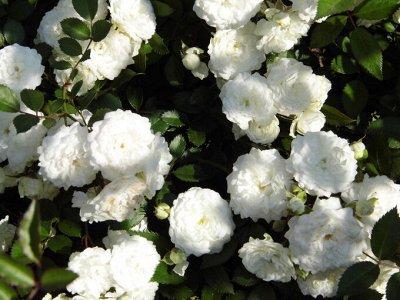 Леди роза — шикарные розы, предзаказ весна 2022 — Почво-покровные