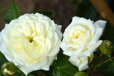 Леди роза — шикарные розы, предзаказ весна 2022 — Флорибунда