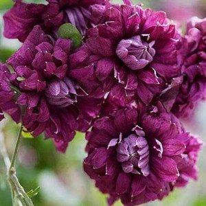 Клематис фиолетовый Пурпуреа Плена Элеганс