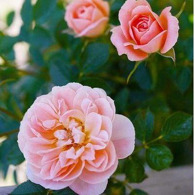 Леди роза — шикарные розы, предзаказ весна 2022 — Розы японской селекции